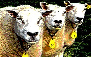 American Sheep